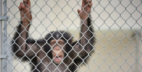 US will not finance new research on chimps