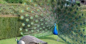 The Peacock's Tale: Lessons From Evolution For Effective Signaling in International Politics