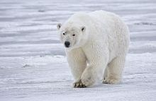 Polar Bears Older But Still Threatened