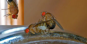 Geneticists Evolve Fruit Flies with the Ability to Count