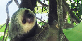 Down on the Cacao Farm: Sloths Thrive at Chocolate Source