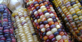 Is Corn the New Milk? Evolutionarily Speaking, That Is