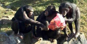 Chimpanzees and Bonobos May Reveal Clues to Evolution of Favor Exchange in Humans