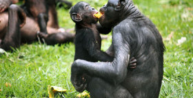Bonobos Share With Strangers Before Acquaintances
