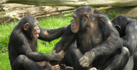 Chimps Have a Sense of Fairness