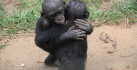 Young Bonobos Offer Comforting Hugs and Sex