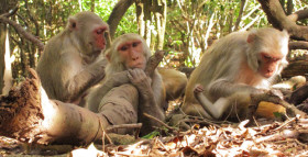 Networking Ability a Family Trait in Monkeys
