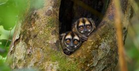 Owl Monkeys Shed Light on Evolution of Love