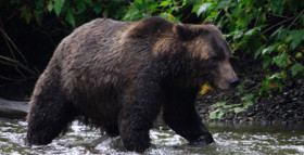 A Puzzling Island Population of Bears: Finally Cleared Up
