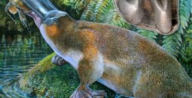 Paleontologists Find Largest Platypus Ever in Australia