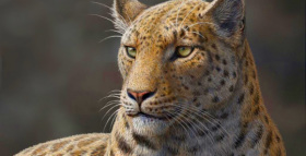 Oldest Big Cat Discovered in Tibetan Himalayas