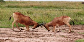Fighting_Hartebeest