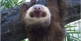 Sloths Once Swam For Food