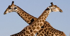 Wikimedia Commons Giraffe
