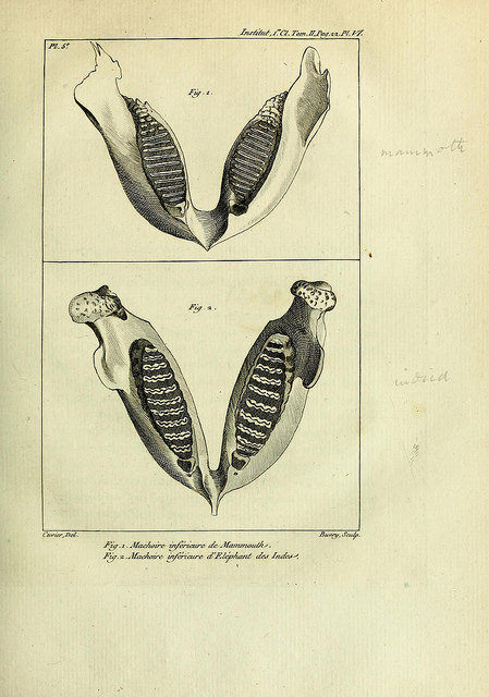 "Comparing the jaws of the Indian elephant and the mammoth. Cuvier, Georges. ""Mémoires sur les espèces d'éléphants vivants et fossiles."" 1800. http://biodiversitylibrary.org/page/16303031. Digitized by Natural History Museum, London."