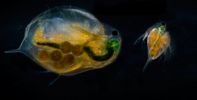Daphnia magna, adult and juvenile. (Flickr: NTNU Faculty of Natural Sciences and Technology)