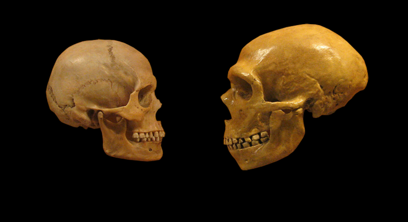 "We are just beginning to understand the effects of hybridization with Neanderthals. ""Sapiens neanderthal comparison en blackbackground"" by hairymuseummatt (original photo), DrMikeBaxter (derivative work) - http://www.flickr.com/photos/hmnh/3033749380/ (original photo). Licensed under CC BY-SA 2.0 via Wikimedia Commons"
