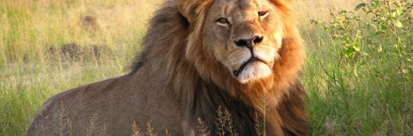 cecil_the_lion_at_hwange_national_park_4516560206